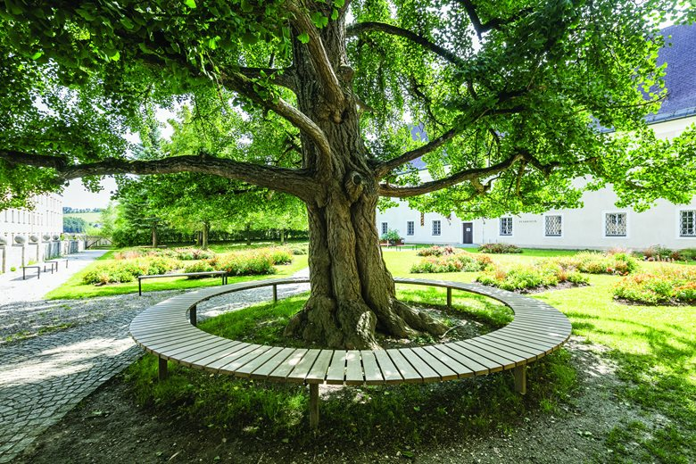 A hundred year old trees ringed with benches